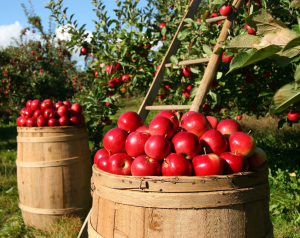 Apple picking from trees with a ladder putting them into barrels.