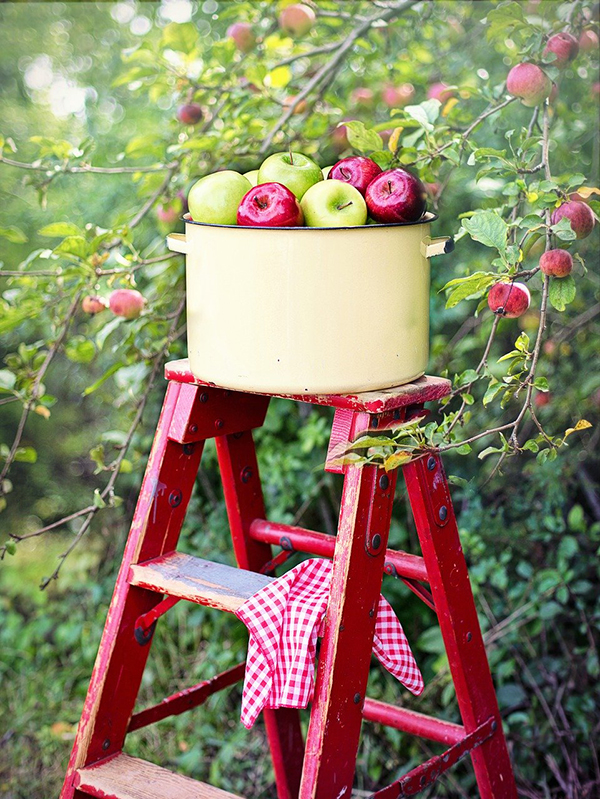 Red ladder with a basket of apples in an apple orchard.