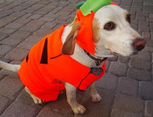 Dog in a pumpkin costume