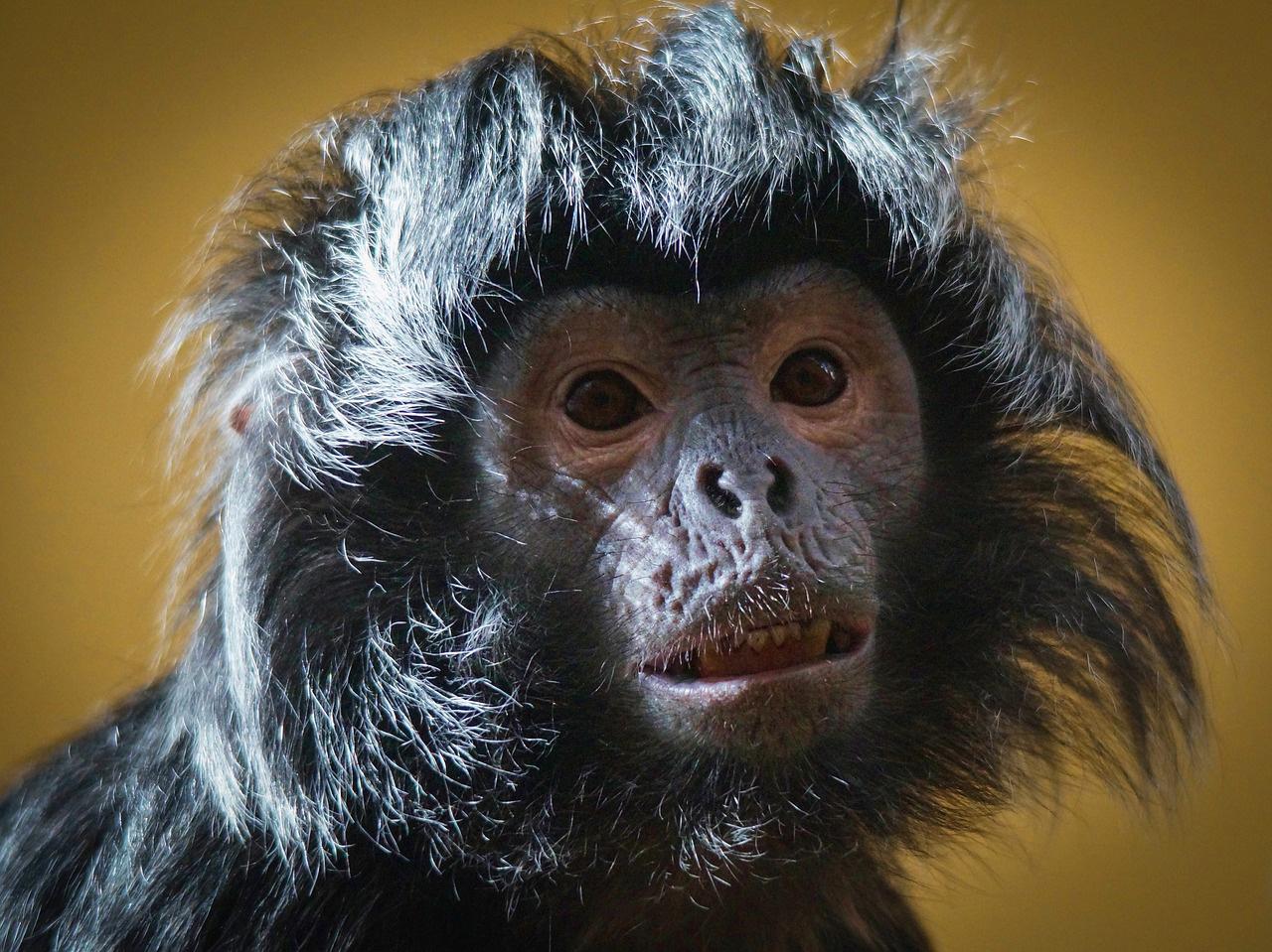 Monkey with wild hair.