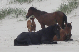4 wild horses hanging out on the beach.